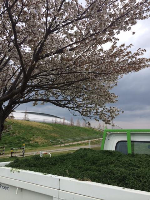 桜とカス.JPG